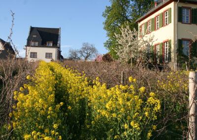 Rapsblüte im Weinberg